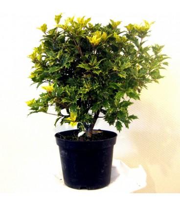 OSMANTHUS heterophyllus Goshiki / OSMANTHUS HETEROPHYLLUS TRICOLOR