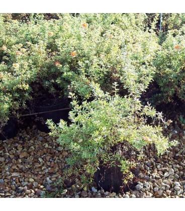 POTENTILLA fruticosa Red Jocker