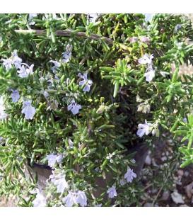 Rosmarinus Officinalis Prostatus / Romarin Rampant