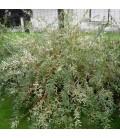 Salix Int. Hakuro Nishiki / Saule Hakuro Nishiki
