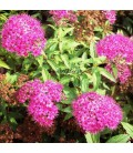 SPIRAEA japonica Anthony Waterer / SPIREE ANTHONY WATERER