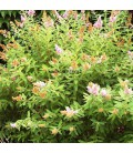 SPIRAEA billardii / SPIREE BILLARDI
