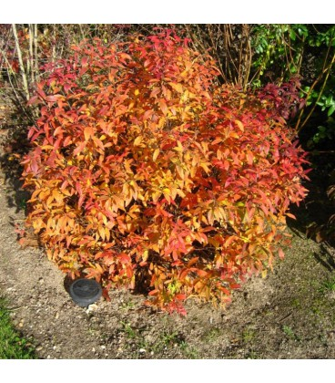 SPIRAEA japonica Goldflame / SPIREE GOLD FLAME