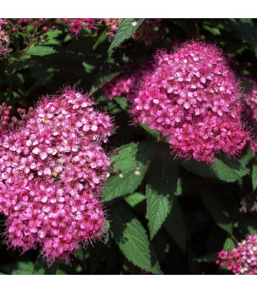 SPIRAEA japonica Little Princess / SPIREE LITTLE PRINCESS