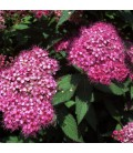Spiraea Japonica Little Princess / Spirée Little Princess
