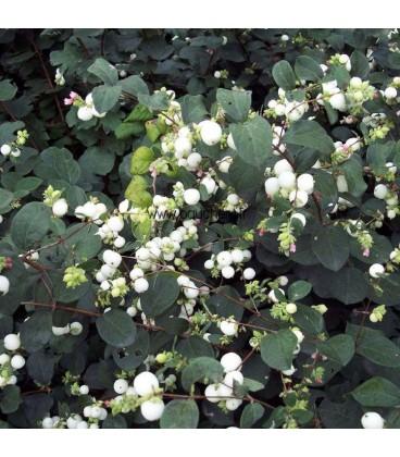 SYMPHORICARPOS doorenbosii White Hedge / SYMPHORINE WHITE HEDGE