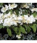 VIBURNUM plicatum Mariesii / VIORNE MARIESI