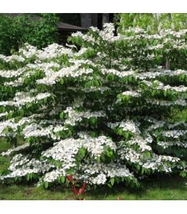 Viburnum Plicatum Watanabe / Viorne Watanabe