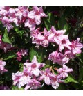 Weigela Abel Carriere