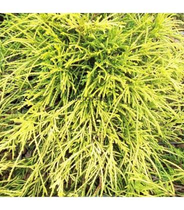 CHAMAECYPARIS pisifera Sungold / CYPRES PISIFERA SUNGOLD