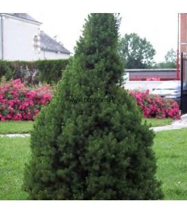 Picea Glauca Conica / Epicea Glauca Conica