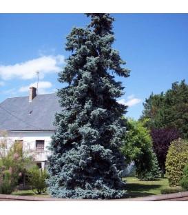 Picea Pungens Koster / Epicea de Koster