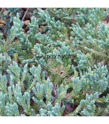 JUNIPERUS squamata Blue Carpet / GENEVRIER BLUE CARPET