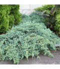 JUNIPERUS squamata Blue Carpet / GENEVRIER BLUE CARPET