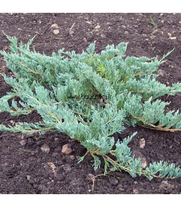 JUNIPERUS horizontalis Blue Chip / GENEVRIER BLUE CHIP