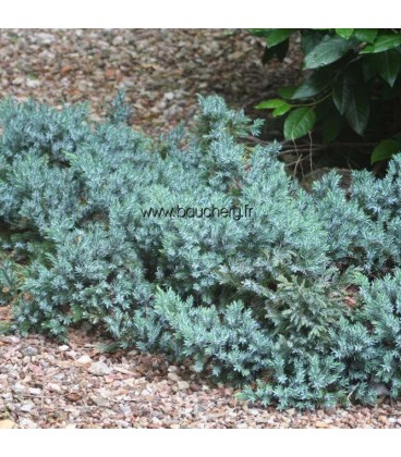 JUNIPERUS squamata Blue Star / GENEVRIER BLUE STAR
