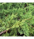 Juniperus Pfitzeriana / Genevrier de Pfitzer Vert