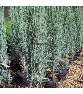 JUNIPERUS scopulorum Skyrocket / GENEVRIER SKYROCKET