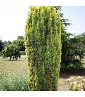 Taxus Baccata Fastigiata Aurea / If D Irlande Dore