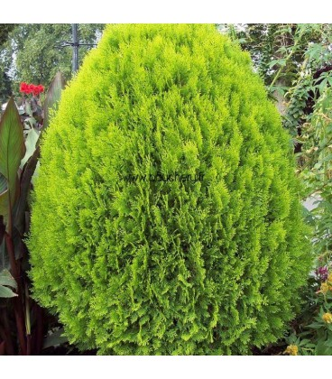 THUJA orientalis Aurea Nana / THUYA AUREA NANA