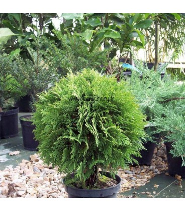 THUJA occidentalis Danica / THUYA DANICA