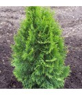 THUJA occidentalis Smaragd / THUYA EMERAUDE