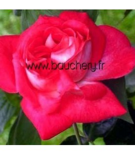 Rosier Buisson Rose Gaujard®