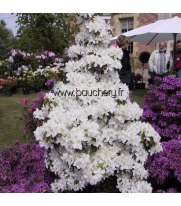 AZALEA japonica blanche / AZALEE DU JAPON BLANCHE