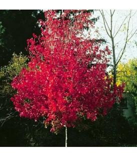 Producteur d 39 arbre en racines nues et conteneur p pini res bauchery - Arbre a feuille rouge persistant ...
