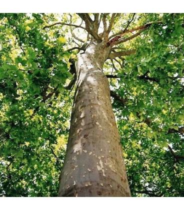 PLATANUS acerifolia / PLATANE A FEUILLES D'ERABLE