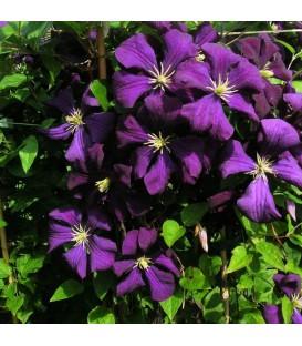 CLEMATIS Etoile Violette / CLEMATITE ETOILE VIOLETTE