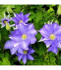 CLEMATIS Lawsoniana / CLEMATITE LAWSONIANA