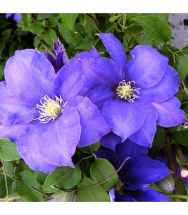 CLEMATIS H.F. Young / CLEMATITE H F YOUNG