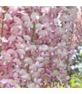 WISTERIA floribunda Pink Ice / GLYCINE DE CHINE ROSE