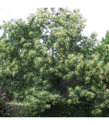 CASTANEA sativa origine forestière
