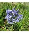 AGAPANTHUS Blue Triumphator / AGAPANTHE