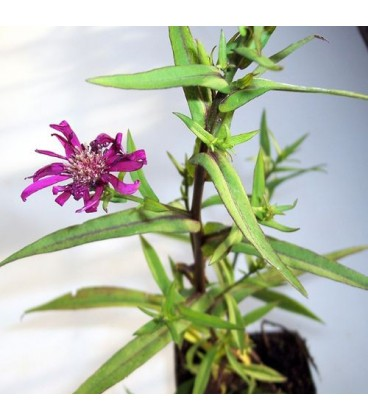 ASTER Royal Ruby