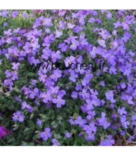 AUBRIETA Cascade Blue / AUBRIETE