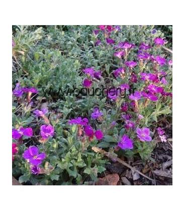 AUBRIETA Cascade Purple / AUBRIETE