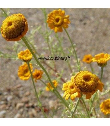 ANTHEMIS Kelway / CAMOMILLE