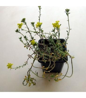 ALYSSUM Berggold / CORBEILLE D'OR