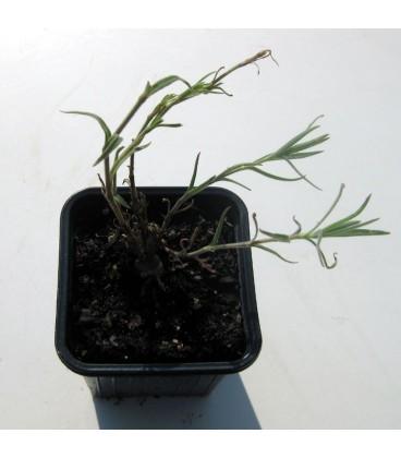 GYPSOPHILA paniculata Alba / GYPSOPHILE