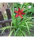 HEMEROCALLIS hyb. Crimson Pirate / HEMEROCALLE