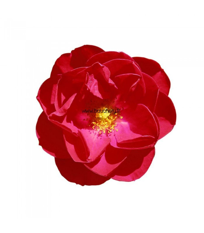 Deco rosier rosier rose jardinire rosier jaune dans un pot gris taupe de cm de diamtre - Tailler un cerisier trop haut ...