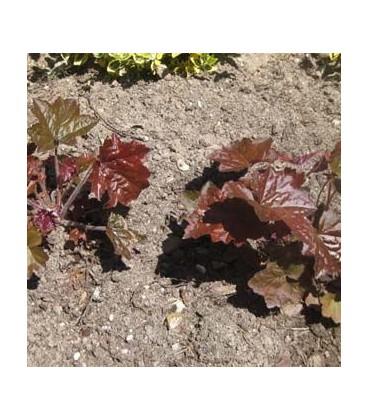 HEUCHERA micrantha Palace Purple / HEUCHERE