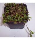 ACAENA microphylla / LAMPOURDE
