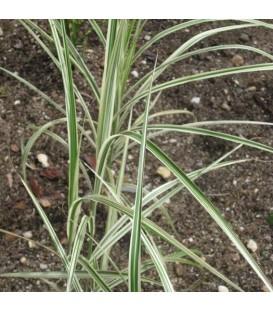 MISCANTHUS sinensis Variegatus / EULALIE