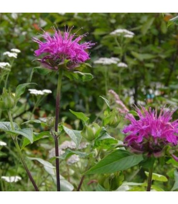 MONARDA Blaustrumpf (Blue Stocking) / MONARDE