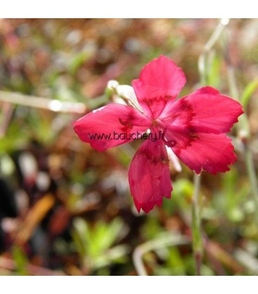 DIANTHUS Flashing Light / OEILLET COUCHE