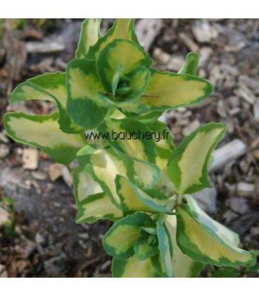 SEDUM alboroseum Mediovariegatum / ORPIN